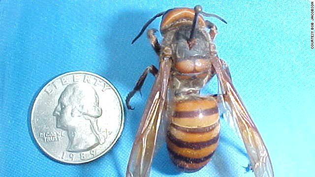 Hornet Next to a Quarter